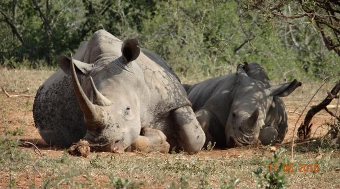 Durban day safari tour; Rhino resting