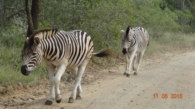 Durban day safari tour; Zebra walking down road