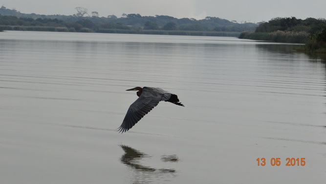 Durban day tour; Goliath heron in flight over St Lucia estuary