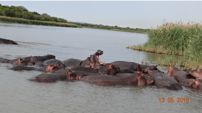 Durban day tour; Pod of Hippos showing aggression