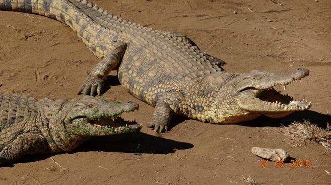 Durban day tour for Ocean Princess Cruise; Crocodiles