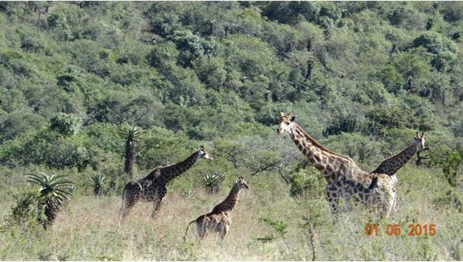 Durban day tour for Ocean Princess Cruise; Giraffe