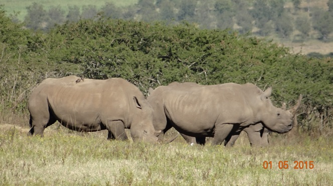 Durban day tour for Ocean Princess Cruise; Rhino