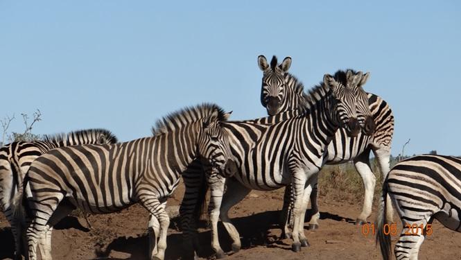 Durban day tour for Ocean Princess Cruise; Zebra