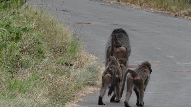 Durban overnight safari; Baboon walking down the road