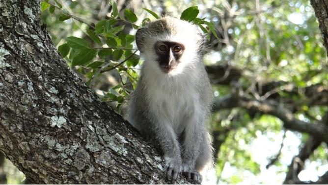 Durban overnight safari; Baby Vervet monkey