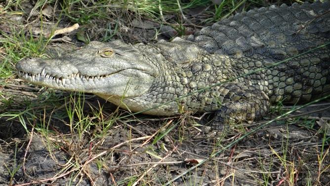 Durban overnight safari; Crocodile at St Lucia