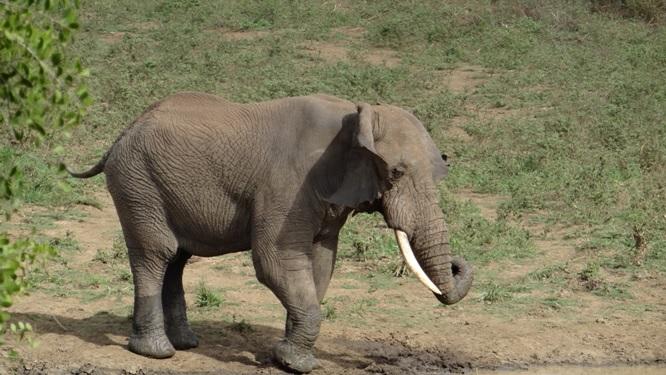 Durban overnight safari; Elephant shaking his ears