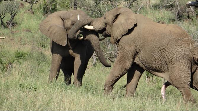 Durban overnight safari; Elephants fighting for dominance