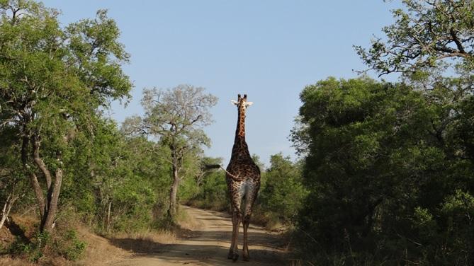 Durban overnight safari; Giraffe walking down the road
