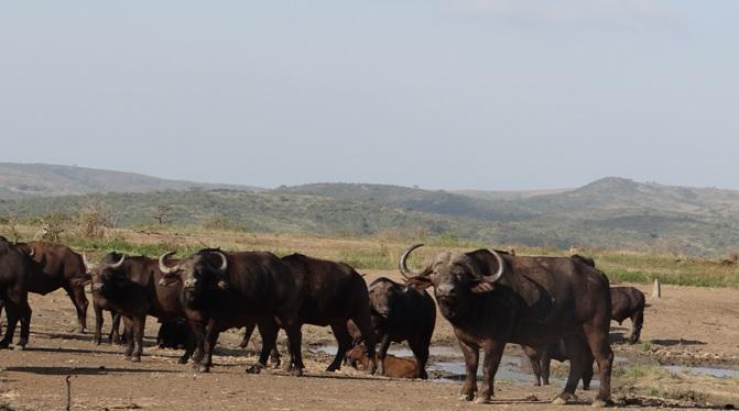 Durban overnight safari; Herd of Buffalo