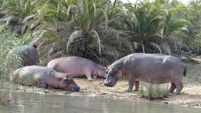 Durban overnight safari; Hippos on land at St Lucia