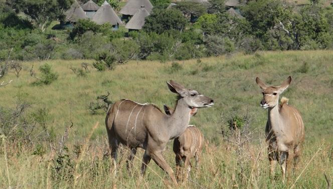 Durban overnight safari; Kudu cows