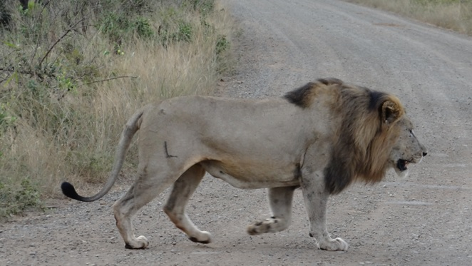Durban overnight safari; Lion crosses road in front of us