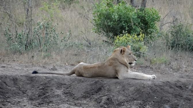 Durban overnight safari; Lion resting on bank