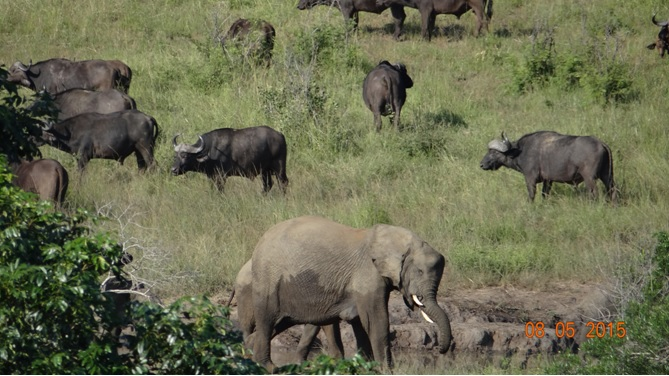 Durban overnight safari tours; Buffalo and Elephant