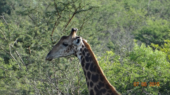 Durban overnight safari tours; Giraffe