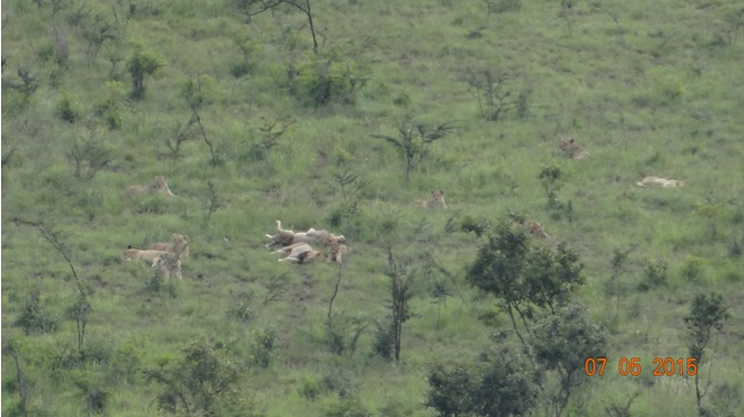 Durban overnight safari tours; Lions resting