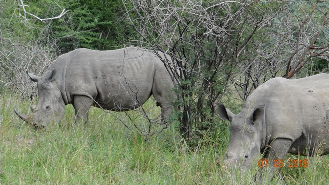 Durban overnight safari tours; Rhinos