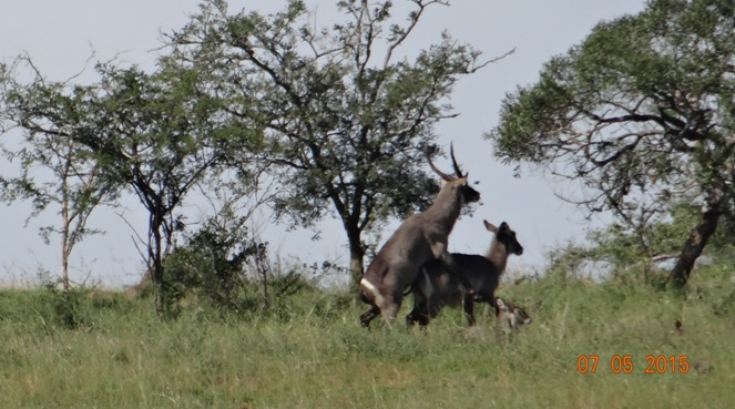 Durban overnight safari tours; Waterbuck mating