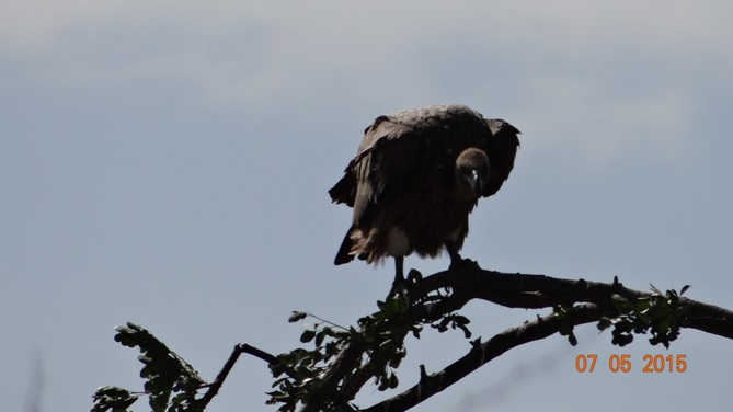 Durban overnight safari tours; White backed Vulture