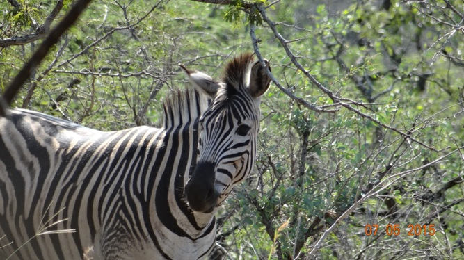 Durban overnight safari tours; Zebra