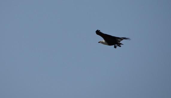 Durban 2 day safari; African Fish Eagle