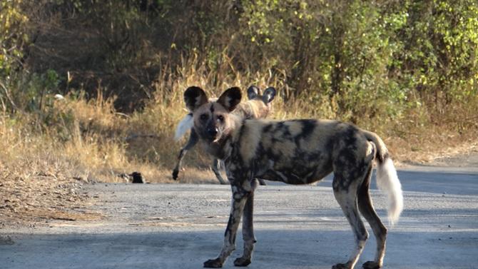 Durban 2 day safari; African Wild Dogs