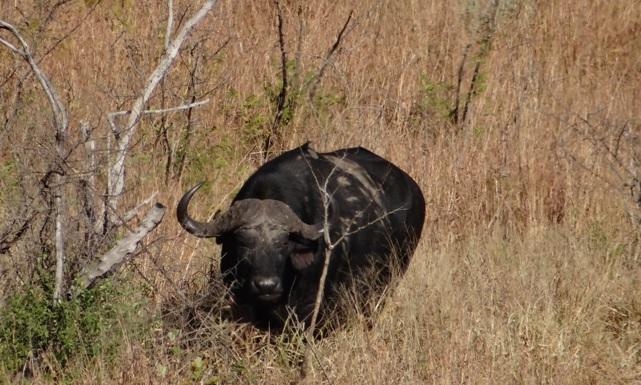 Durban 2 day safari; Buffalo