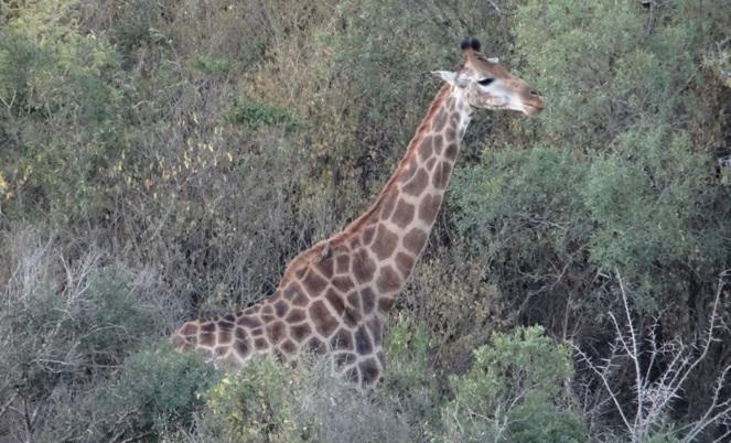 Durban 2 day safari; Giraffe