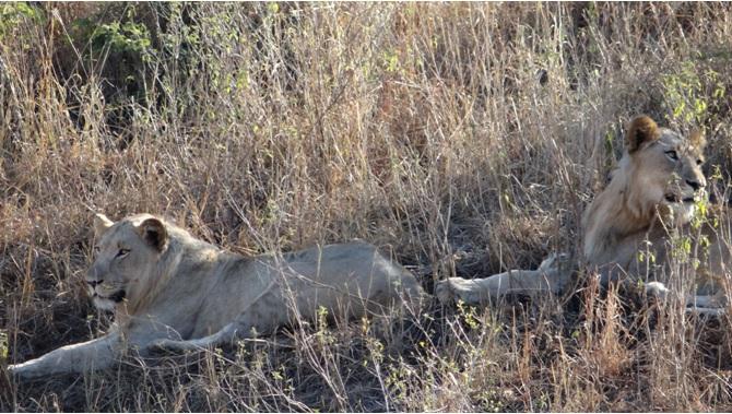 Durban 2 day safari; Lions