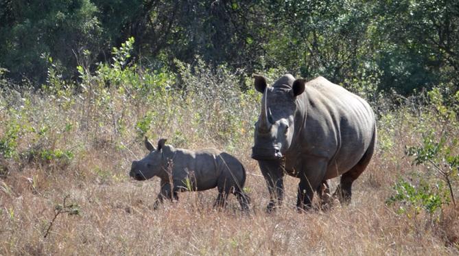 Durban 2 day safari; Rhino mother and calf