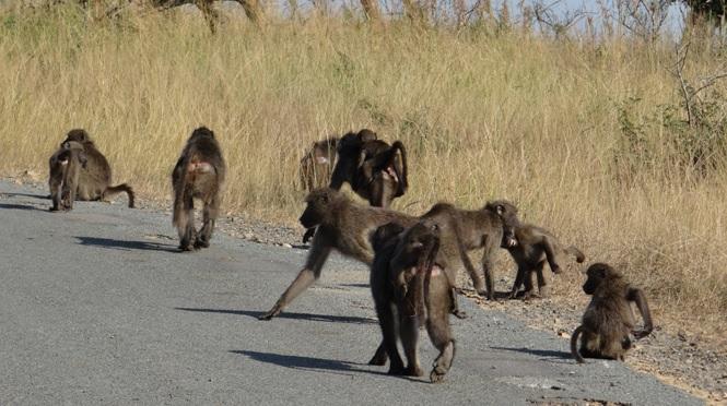 Durban day safari; Baboons on road