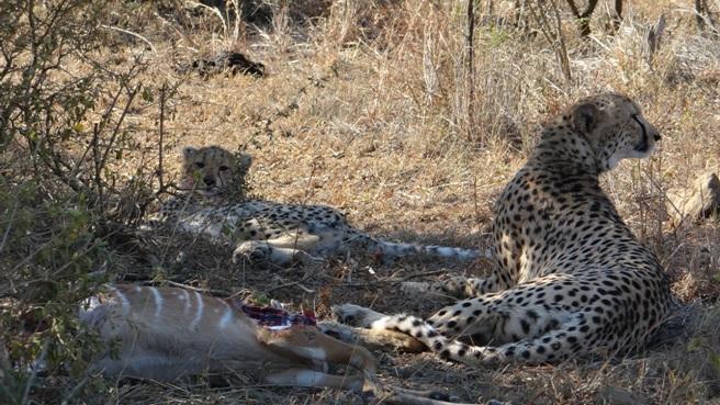Durban day safari; Cheetah mother and cub on kill