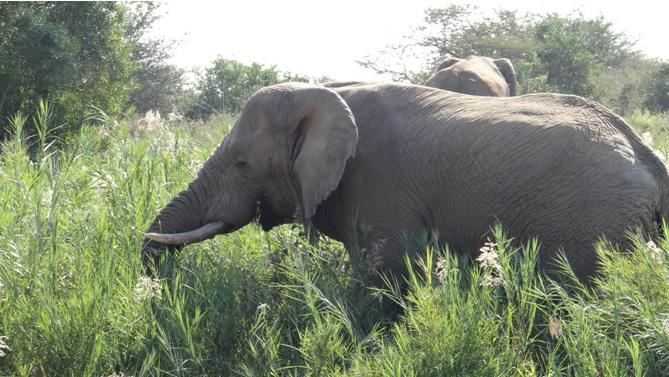 Durban day safari; Elephant bulls feeding