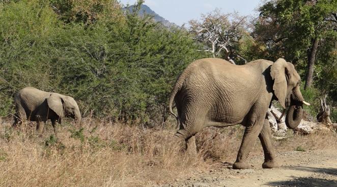 Durban day safari; Elephants crossing the road
