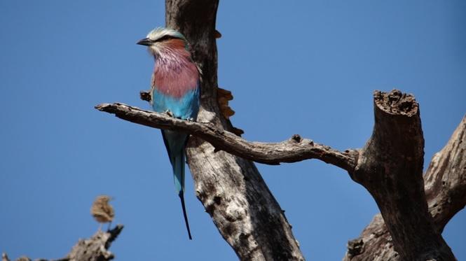 Durban day safari; Lilac Breasted Roller