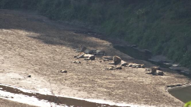 Durban day safari; Pride of Lions resting in the river