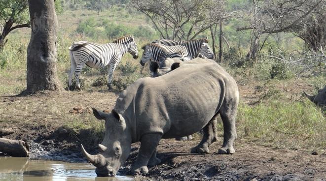 Durban day safari; Rhino drinks with Zebra