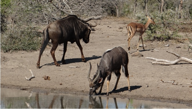 Durban day safari; Wildebeest, Nyala and Impala
