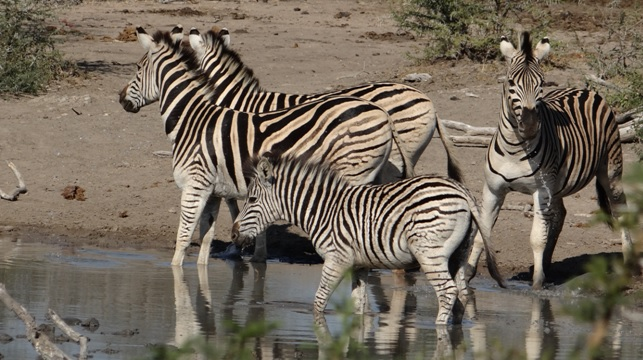 Durban day safari; Zebra drinking