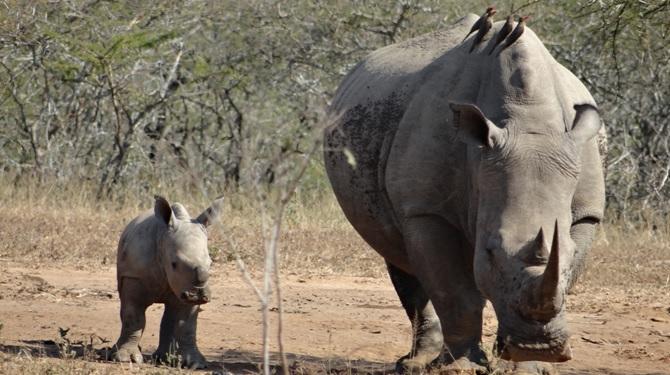 Durban day safari; two generations of Rhino