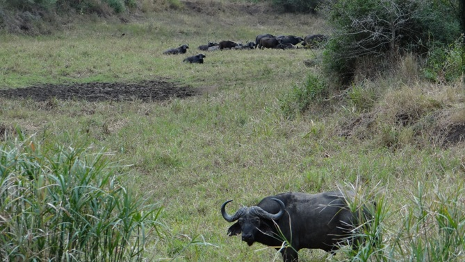 Durban private safari; Herd of Buffalo