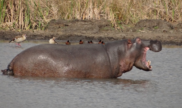Durban private tour; Hippo mother and baby