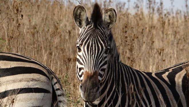 Durban private tour; Zebra