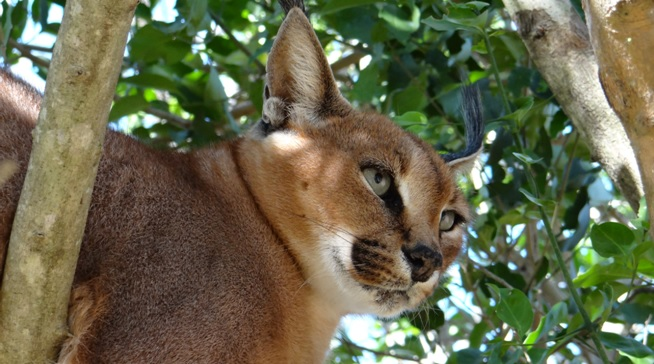 Durban safari tour; Caracal in Tree