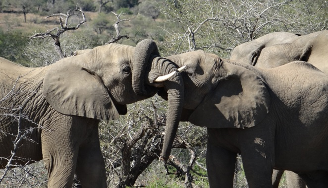 Durban safari tour; Elephants play fighting