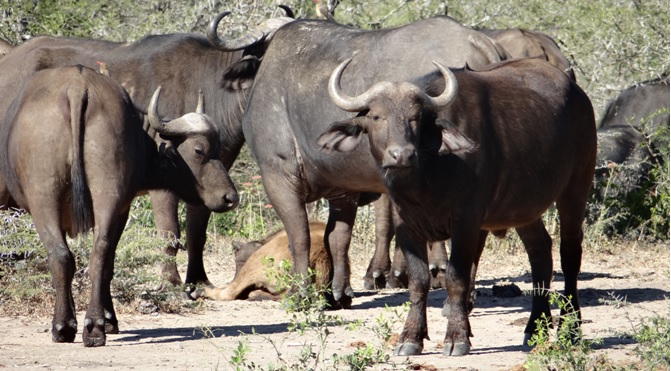 Durban safari tour; Herd of Buffalo