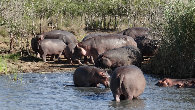 Durban safari tour; Hippos at St Lucia