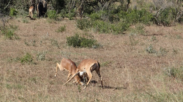 Durban safari tour; Impala clashing heads